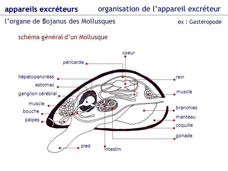 organisation de lappareil excréteur lorgane de Bojanus des Mollusques appareils excréteurs ex : Gastéropode coeur branchies manteau muscle péricarde m