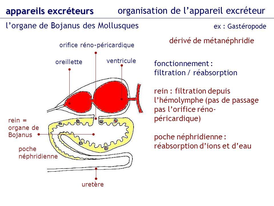organisation de lappareil excréteur lorgane de Bojanus des Mollusques appareils excréteurs ex : Gastéropode oreillette ventricule uretère orifice réno