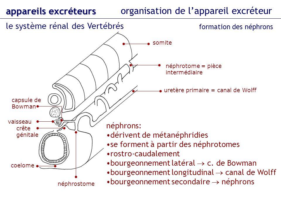 organisation de lappareil excréteur le système rénal des Vertébrés appareils excréteurs formation des néphrons néphrotome = pièce intermédiaire vaisse