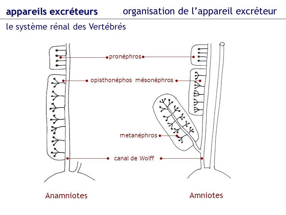 organisation de lappareil excréteur le système rénal des Vertébrés appareils excréteurs Anamniotes Amniotes pronéphros opisthonéphos mésonéphros metan