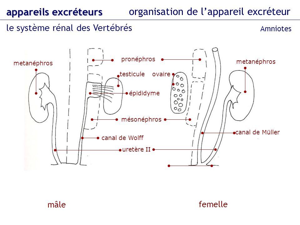 organisation de lappareil excréteur le système rénal des Vertébrés appareils excréteurs mâle femelle pronéphros mésonéphros metanéphros canal de Mülle