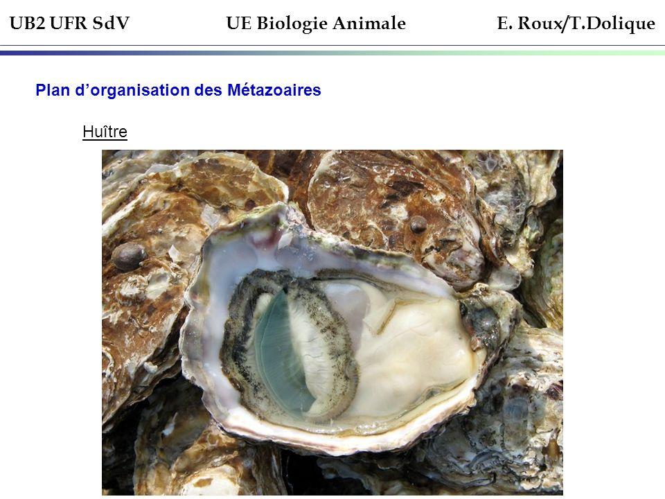 UB2 UFR SdV UE Biologie Animale E. Roux/T.Dolique Plan dorganisation des Métazoaires Huître