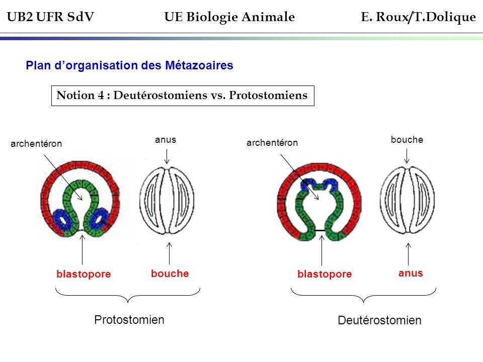 UB2 UFR SdV UE Biologie Animale E. Roux/T.Dolique Plan dorganisation des Métazoaires Notion 4 : Deutérostomiens vs. Protostomiens blastopore archentér