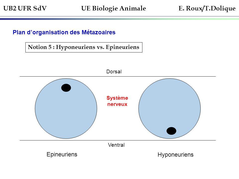 UB2 UFR SdV UE Biologie Animale E. Roux/T.Dolique Plan dorganisation des Métazoaires Notion 5 : Hyponeuriens vs. Epineuriens Dorsal Ventral Système ne