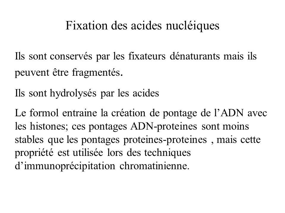 Fixation des acides nucléiques Ils sont conservés par les fixateurs dénaturants mais ils peuvent être fragmentés. Ils sont hydrolysés par les acides L