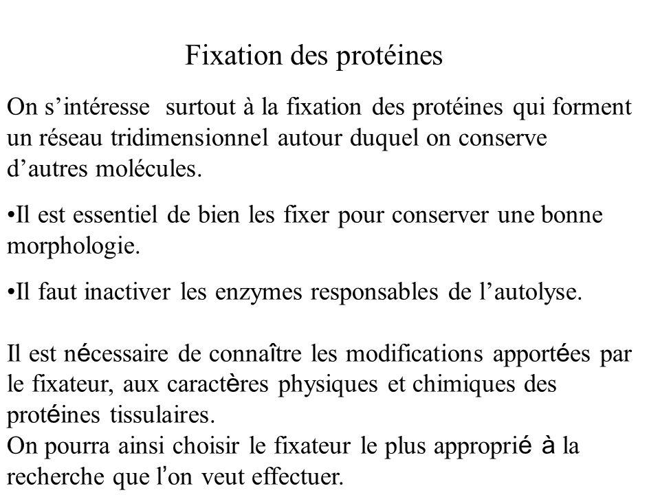 Fixation des protéines On sintéresse surtout à la fixation des protéines qui forment un réseau tridimensionnel autour duquel on conserve dautres moléc