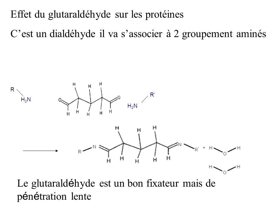 Effet du glutaraldéhyde sur les protéines Cest un dialdéhyde il va sassocier à 2 groupement aminés R H 2 N R H 2 N Le glutarald é hyde est un bon fixa