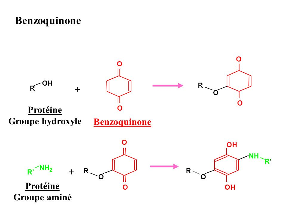 O O R OH + O O R O O O R O R NH 2 + OH R O NH R Benzoquinone Protéine Groupe hydroxyle Protéine Groupe aminé Benzoquinone