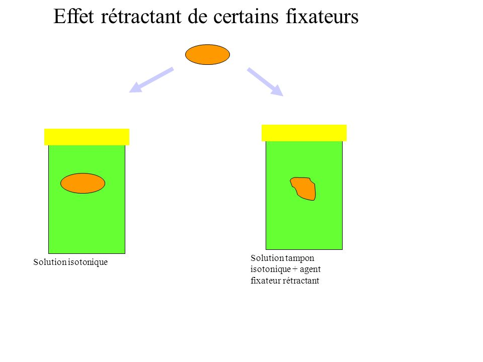 Solution tampon isotonique + agent fixateur rétractant Solution isotonique Effet rétractant de certains fixateurs