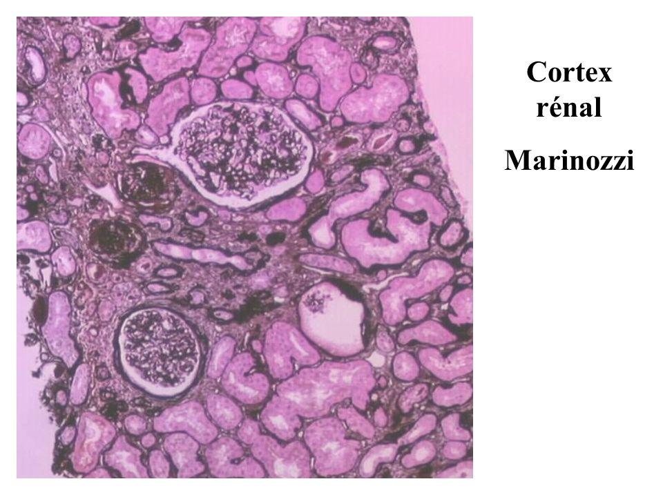 Cortex rénal Marinozzi