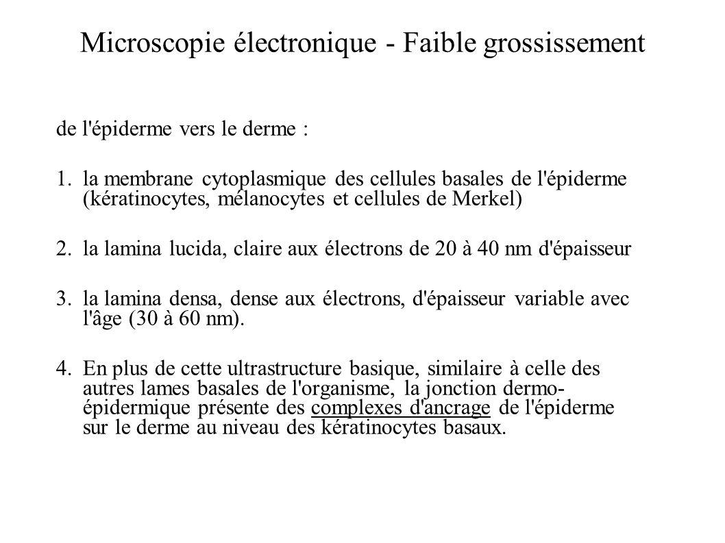 Microscopie électronique - Faible grossissement de l'épiderme vers le derme : 1.la membrane cytoplasmique des cellules basales de l'épiderme (kératino
