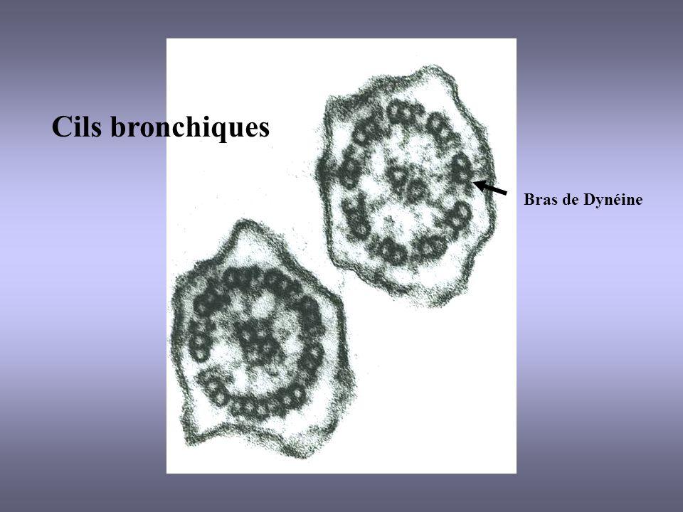 Bras de Dynéine Cils bronchiques