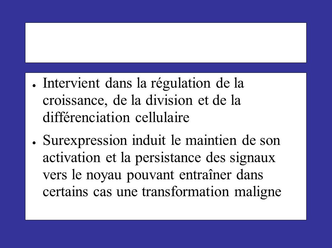 Intervient dans la régulation de la croissance, de la division et de la différenciation cellulaire Surexpression induit le maintien de son activation