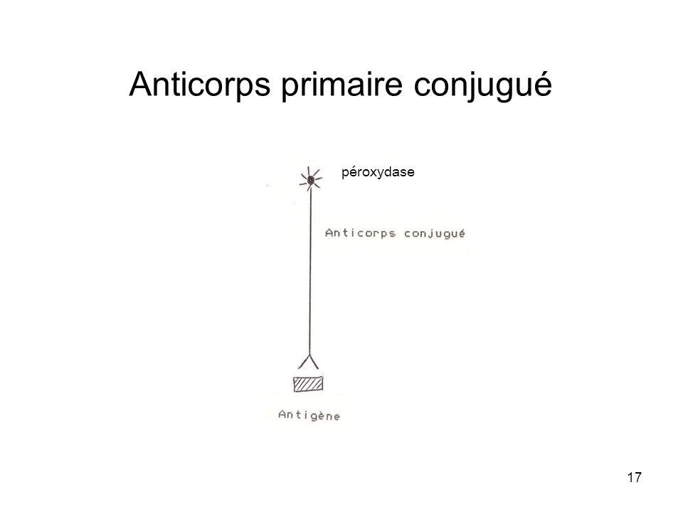 17 Anticorps primaire conjugué péroxydase
