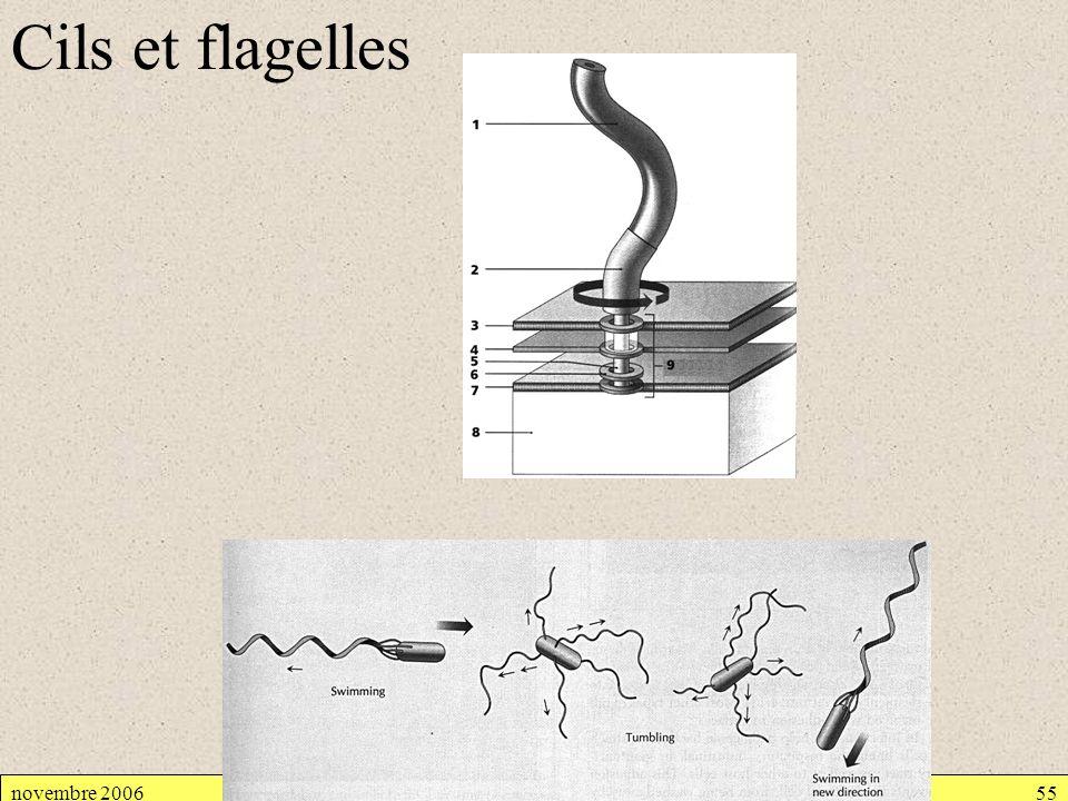 novembre 2006Cellule procaryote55 Cils et flagelles