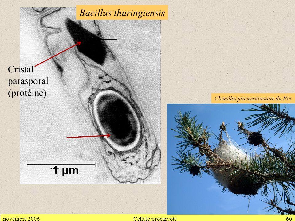 novembre 2006Cellule procaryote60 Bacillus thuringiensis Cristal parasporal (protéine) Chenilles processionnaire du Pin