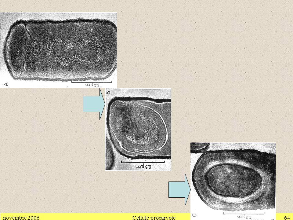 novembre 2006Cellule procaryote64