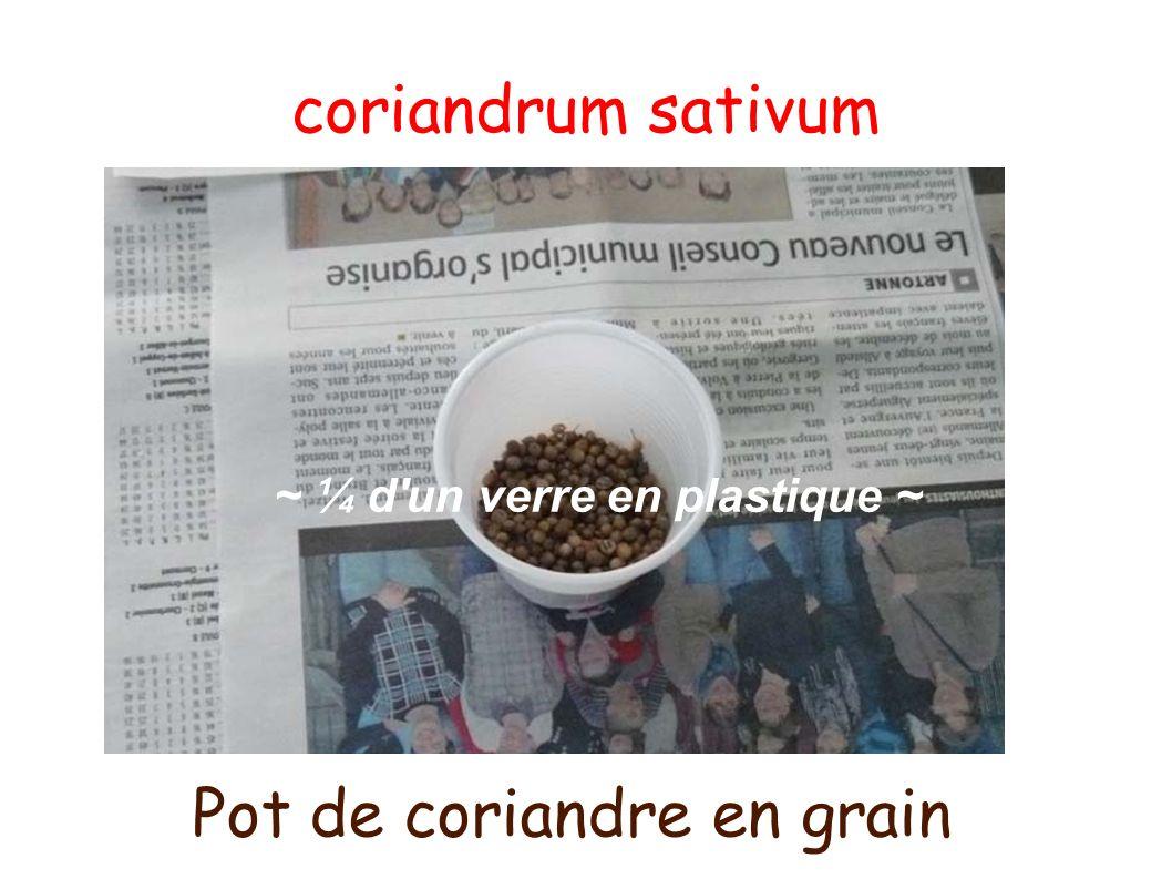 coriandrum sativum ~ ¼ d'un verre en plastique ~ Pot de coriandre en grain