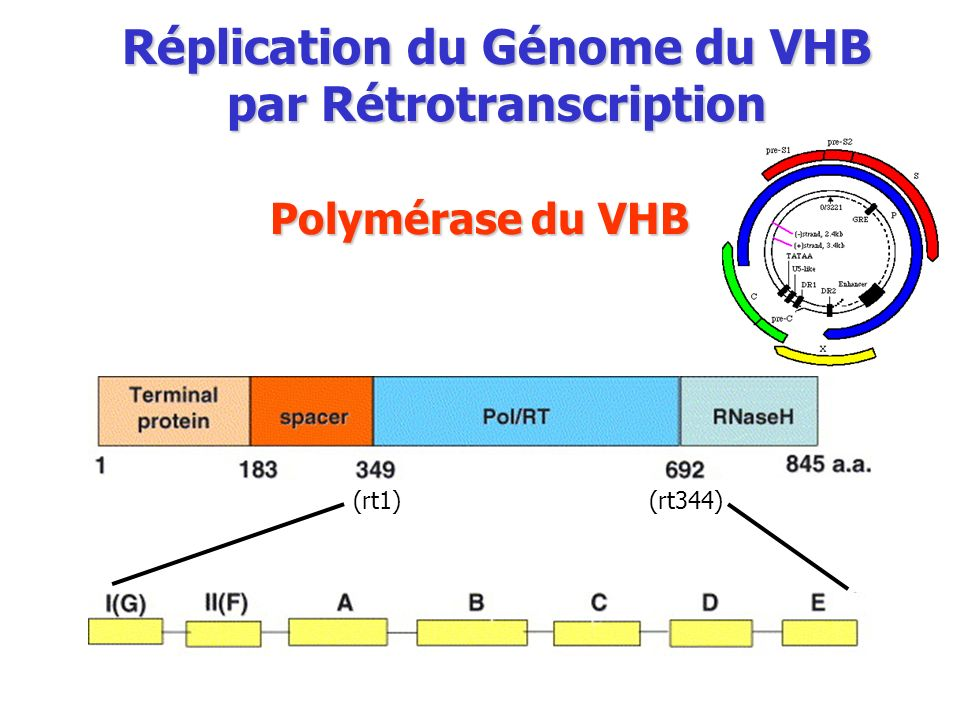 Polymérase du VHB Réplication du Génome du VHB par Rétrotranscription (rt1) (rt344)