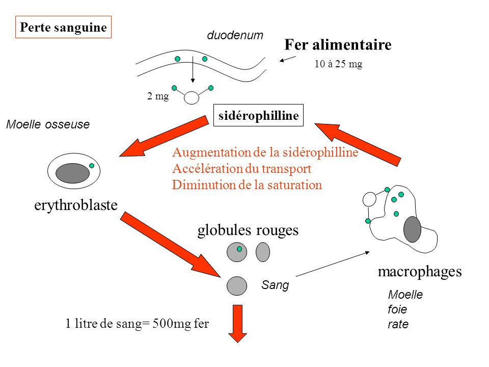 duodenum Fer alimentaire sidérophilline erythroblaste Moelle osseuse globules rouges Sang macrophages Moelle foie rate 10 à 25 mg 2 mg 1 litre de sang