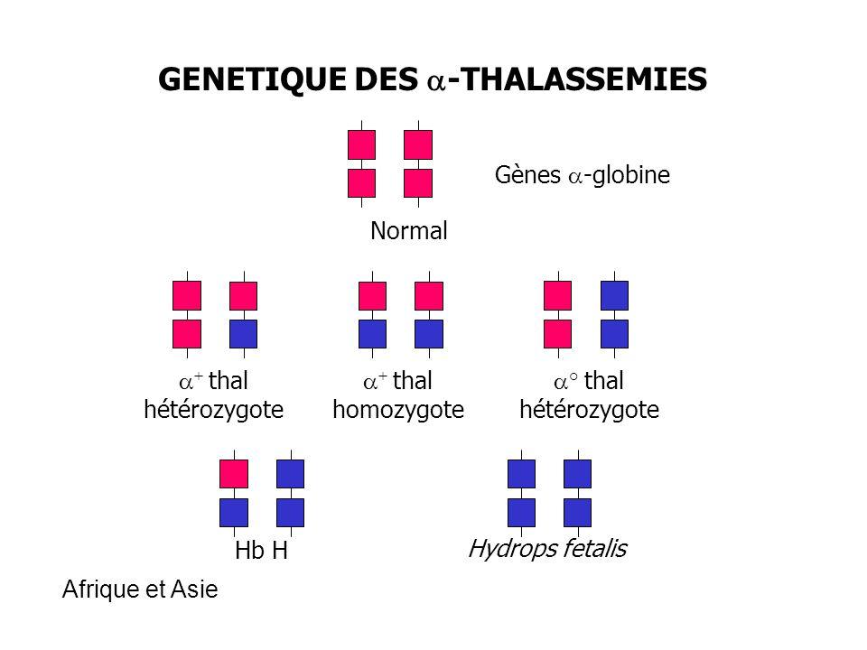 GENETIQUE DES -THALASSEMIES Normal Gènes -globine + thal hétérozygote + thal homozygote ° thal hétérozygote Hb H Hydrops fetalis Afrique et Asie
