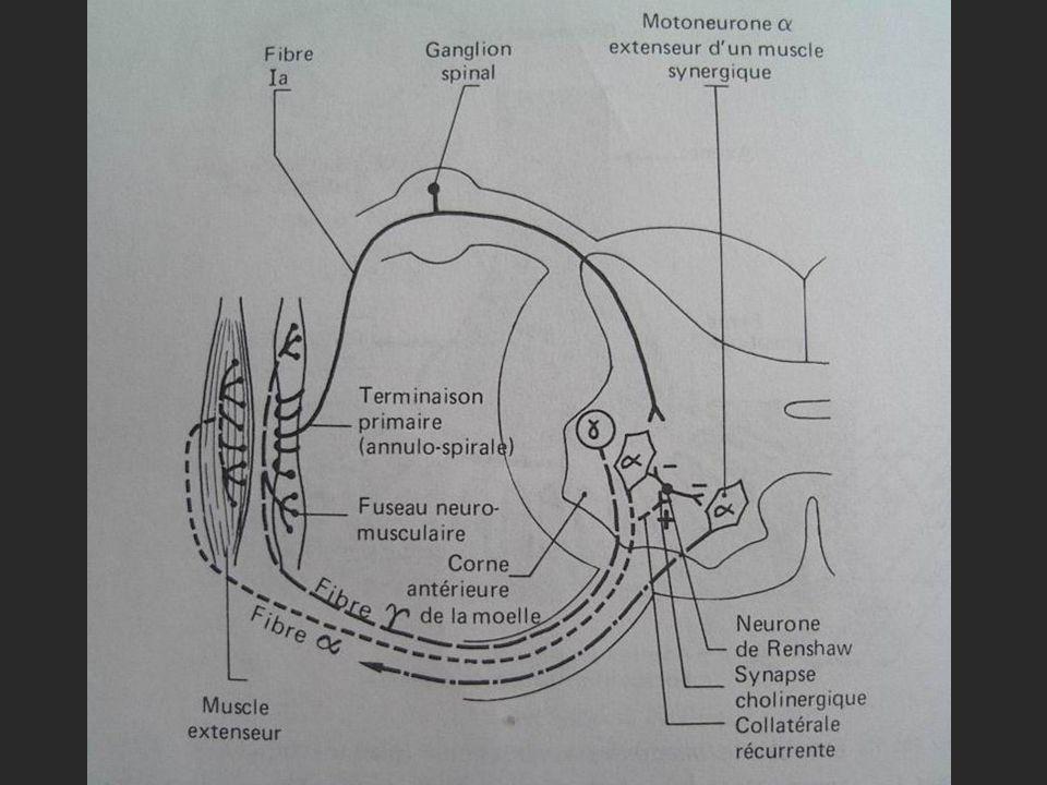 Répnse normale : Contraction du muscle avec ou sans déplacement articulaire : - Symétrique; - Similaire aux membres inférieurs et supérieurs; Réponses anormales : - Diminution ou abolition; - Exagération; - Inversion; - Réflexes pendulaires;