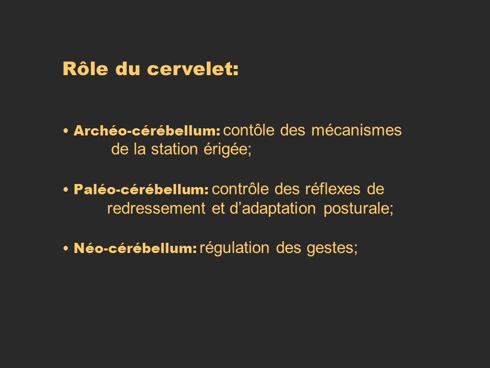 Rôle du cervelet: Archéo-cérébellum: contôle des mécanismes de la station érigée; Paléo-cérébellum: contrôle des réflexes de redressement et dadaptati