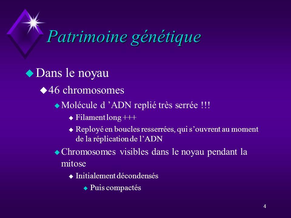 4 Patrimoine génétique u Dans le noyau u 46 chromosomes u Molécule d ADN replié très serrée !!! u Filament long +++ u Reployé en boucles resserrées, q