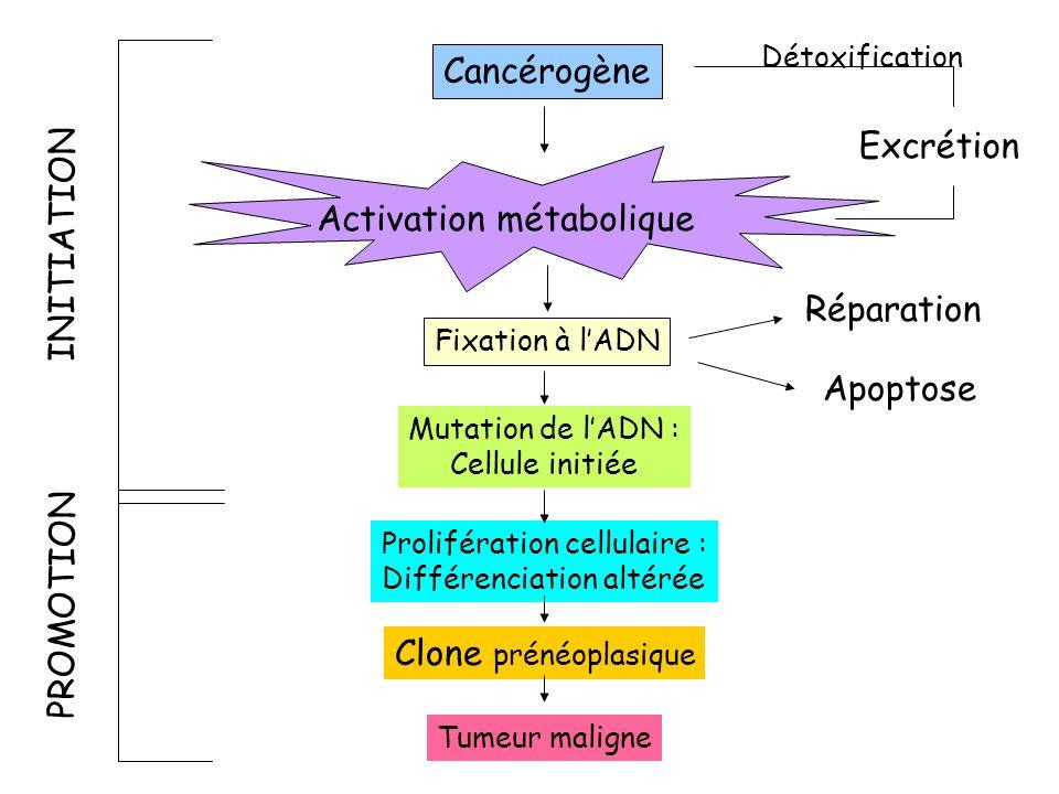 Cancérogène Activation métabolique Fixation à lADN Mutation de lADN : Cellule initiée Prolifération cellulaire : Différenciation altérée Clone prénéop