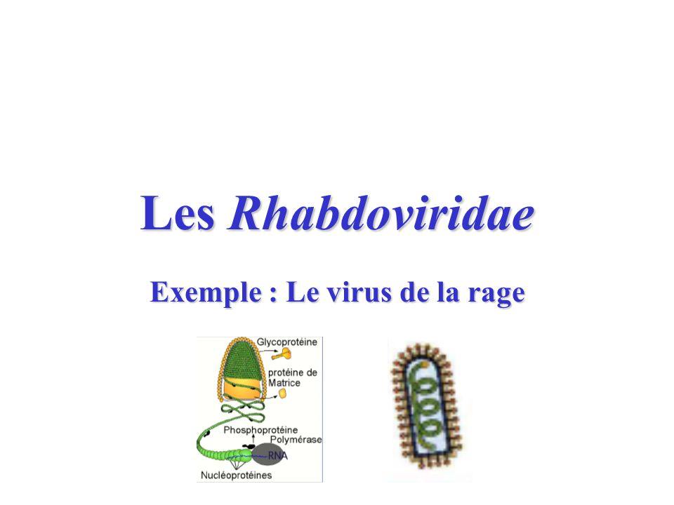 Carte didentité des Rhabdoviridae Forme allongée (obus) –1 extrémité plate –1 extrémité arrondie Enveloppe + spicules (trimères de glycoprotéine G) –Anticorps neutralisants Capside tubulaire à symétrie hélicoïdale ARN monocaténaire non segmenté, polarité (-), 12kb Multiplication cytoplasmique Rage : Genre Lyssavirus, 7 génotypes