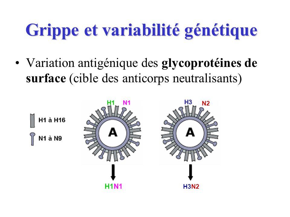 Grippe et variabilité génétique Variation antigénique des glycoprotéines de surface (cible des anticorps neutralisants) N2 H3N2