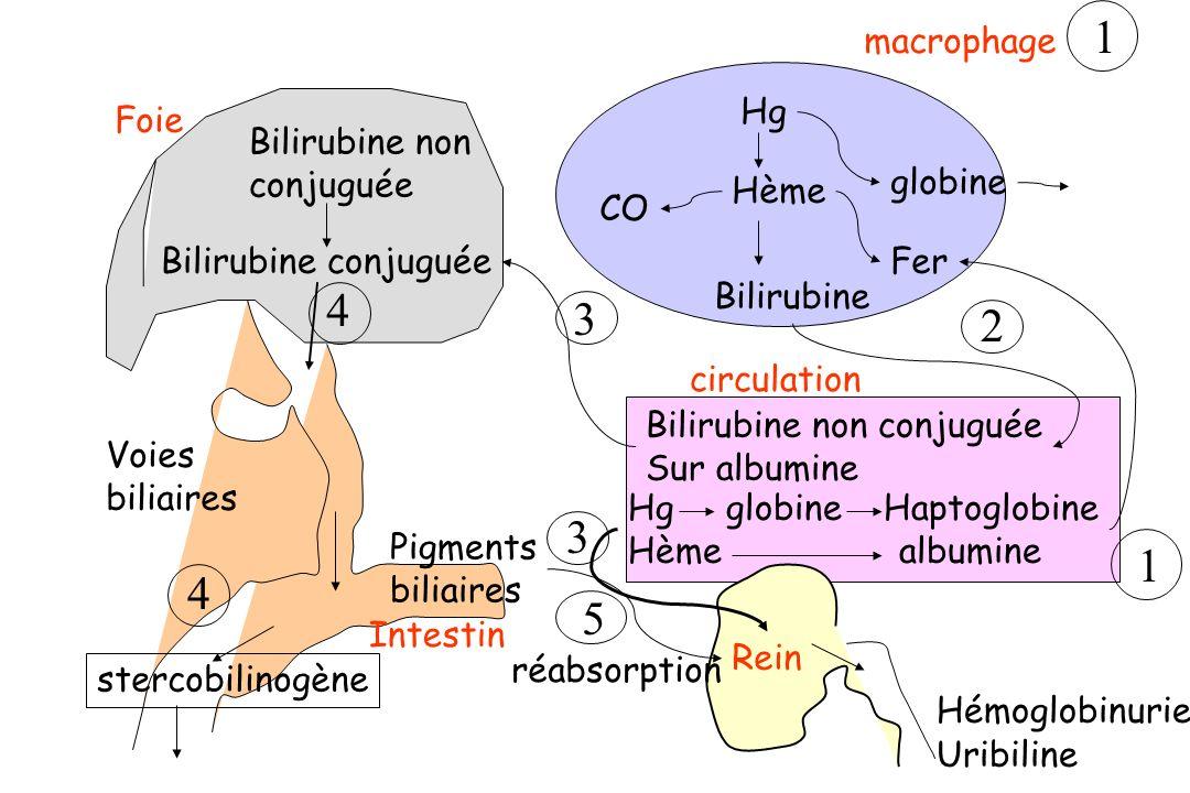 circulation Hg Hème Bilirubine CO globine Fer macrophage Bilirubine non conjuguée Bilirubine conjuguée Voies biliaires Pigments biliaires Intestin ste