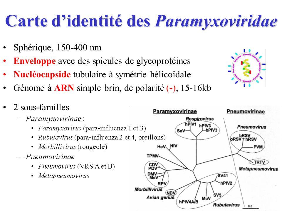 Carte didentité des Paramyxoviridae Sphérique, 150-400 nm Enveloppe avec des spicules de glycoprotéines Nucléocapside tubulaire à symétrie hélicoïdale