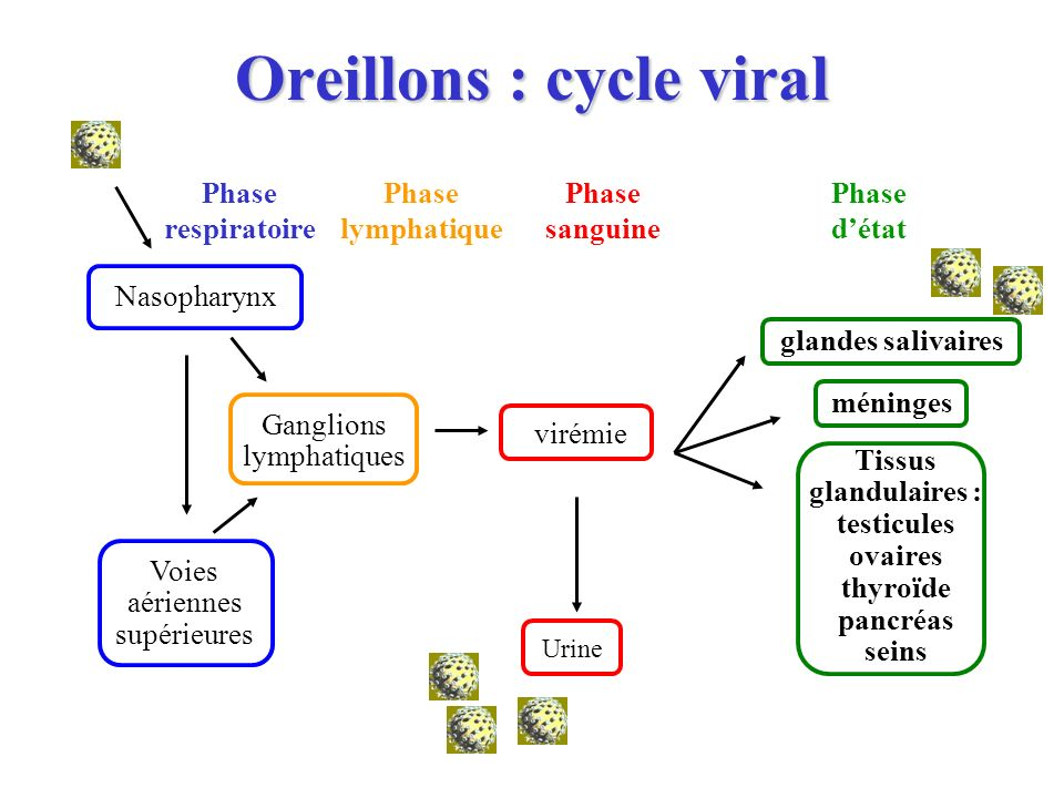 Oreillons : cycle viral Urine Nasopharynx virémie Ganglions lymphatiques Phase respiratoire Phase lymphatique Phase sanguine Phase détat glandes saliv