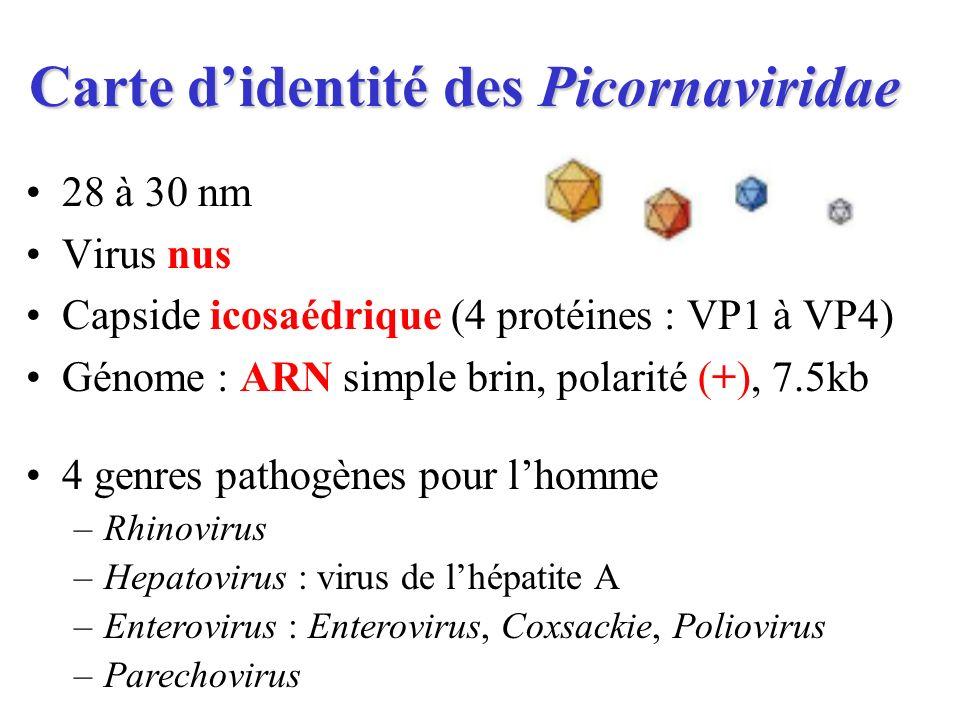 Carte didentité des Picornaviridae 28 à 30 nm Virus nus Capside icosaédrique (4 protéines : VP1 à VP4) Génome : ARN simple brin, polarité (+), 7.5kb 4
