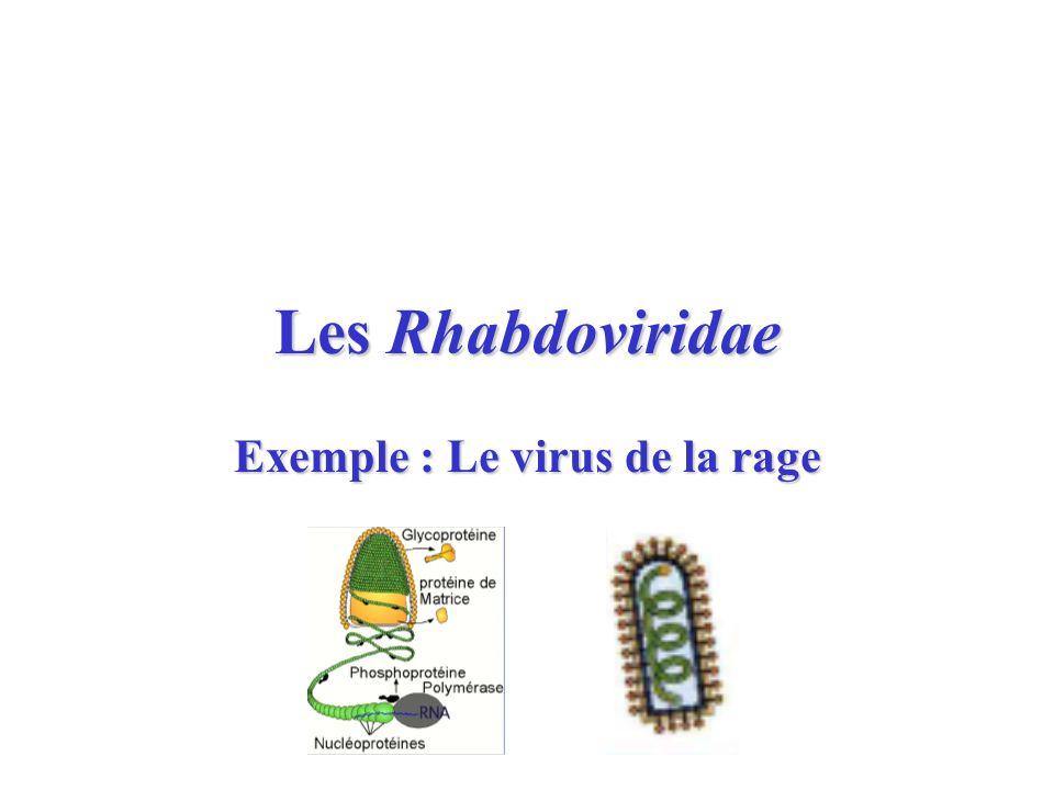 Les Rhabdoviridae Exemple : Le virus de la rage