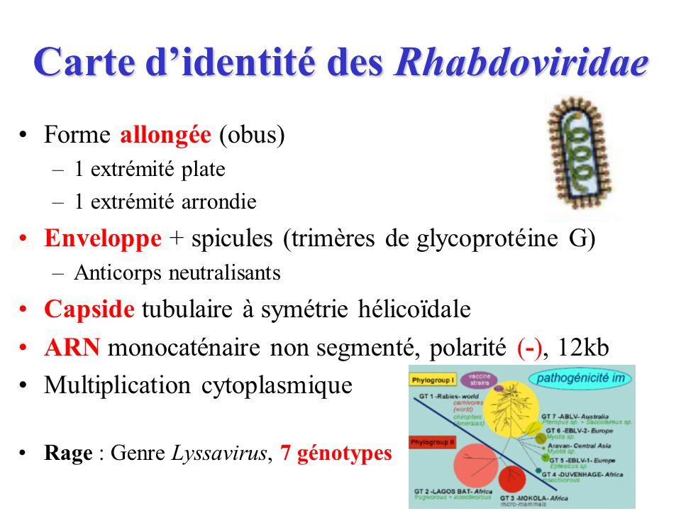 Carte didentité des Rhabdoviridae Forme allongée (obus) –1 extrémité plate –1 extrémité arrondie Enveloppe + spicules (trimères de glycoprotéine G) –A