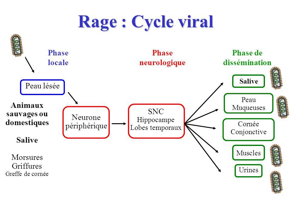 Rage : Cycle viral Peau lésée SNC Hippocampe Lobes temporaux Neurone périphérique Phase locale Phase neurologique Phase de dissémination Salive Animau