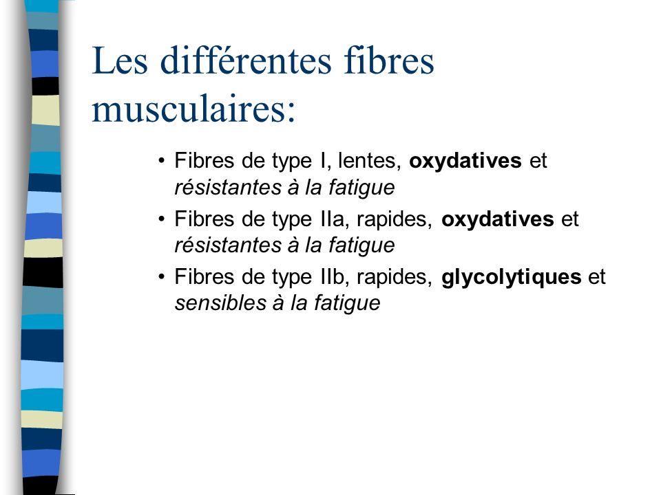 Les différentes fibres musculaires: Fibres de type I, lentes, oxydatives et résistantes à la fatigue Fibres de type IIa, rapides, oxydatives et résistantes à la fatigue Fibres de type IIb, rapides, glycolytiques et sensibles à la fatigue