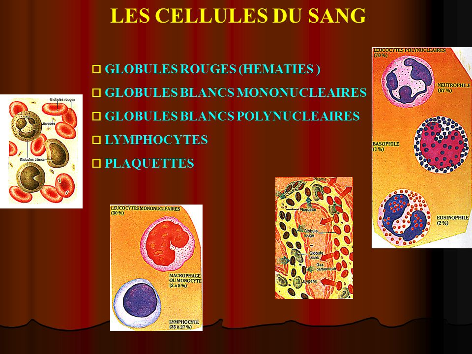 LES CELLULES DU SANG o GLOBULES ROUGES (HEMATIES ) o GLOBULES BLANCS MONONUCLEAIRES o GLOBULES BLANCS POLYNUCLEAIRES o LYMPHOCYTES o PLAQUETTES