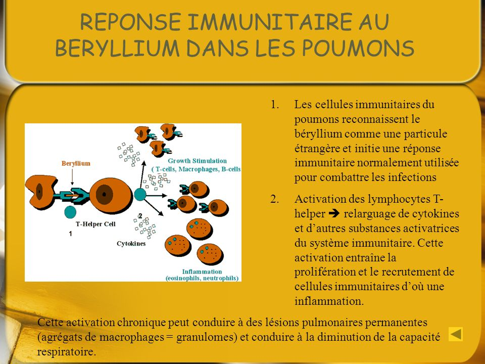 REPONSE IMMUNITAIRE AU BERYLLIUM DANS LES POUMONS 1.Les cellules immunitaires du poumons reconnaissent le béryllium comme une particule étrangère et i