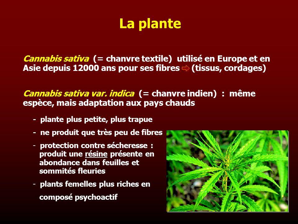 La plante Cannabis sativa (= chanvre textile) utilisé en Europe et en Asie depuis 12000 ans pour ses fibres (tissus, cordages) Cannabis sativa var. in