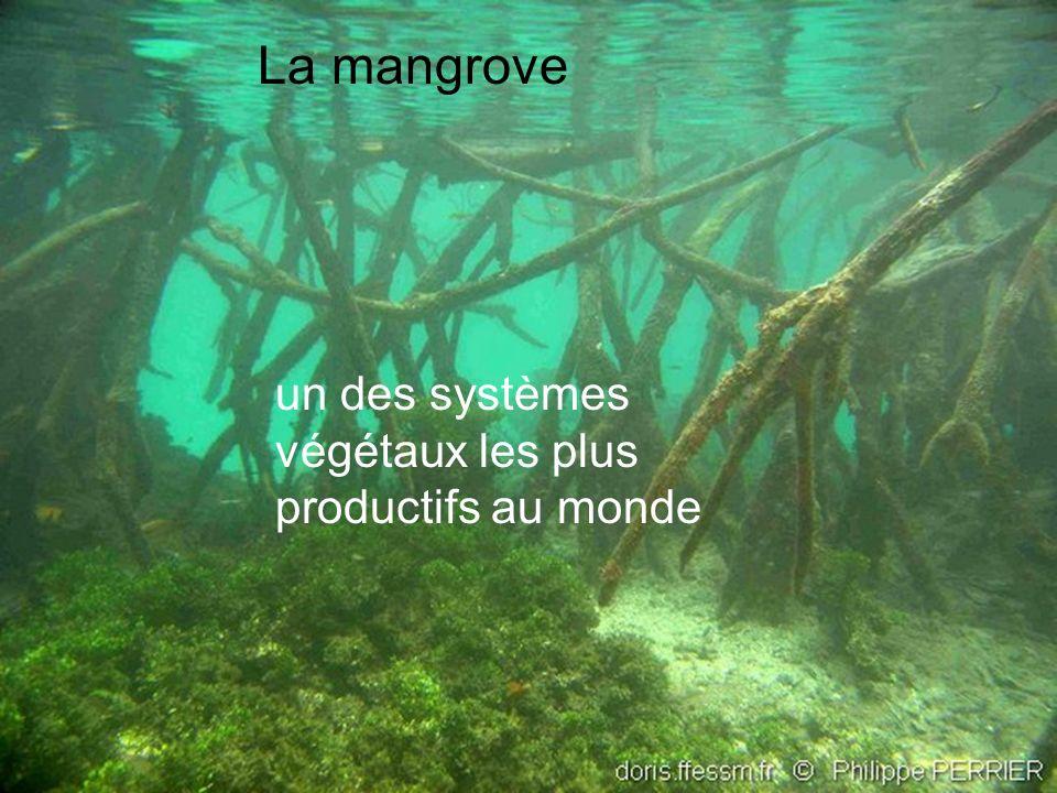 un des systèmes végétaux les plus productifs au monde La mangrove
