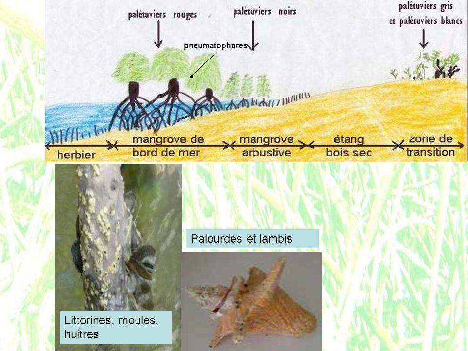 pneumatophores Littorines, moules, huitres Palourdes et lambis