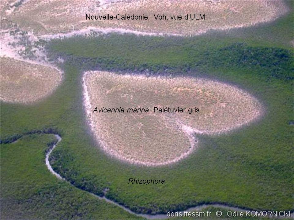 Nouvelle-Calédonie, Voh, vue d'ULM Avicennia marina Palétuvier gris Rhizophora