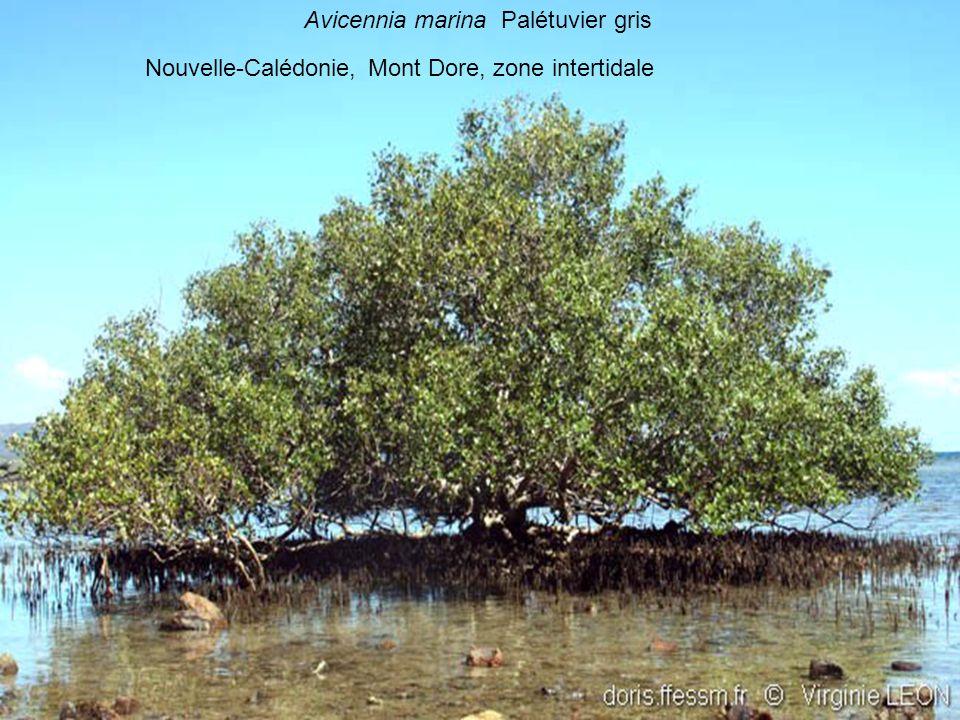 Avicennia marina Palétuvier gris Nouvelle-Calédonie, Mont Dore, zone intertidale