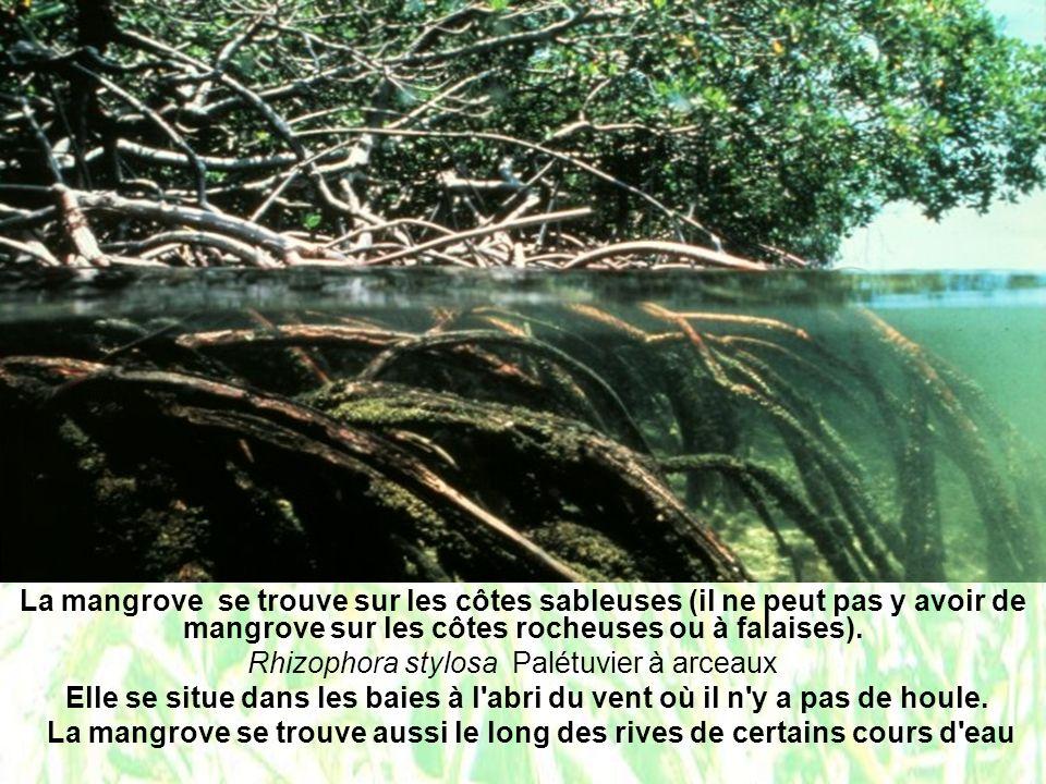 La mangrove se trouve sur les côtes sableuses (il ne peut pas y avoir de mangrove sur les côtes rocheuses ou à falaises). Rhizophora stylosa Palétuvie
