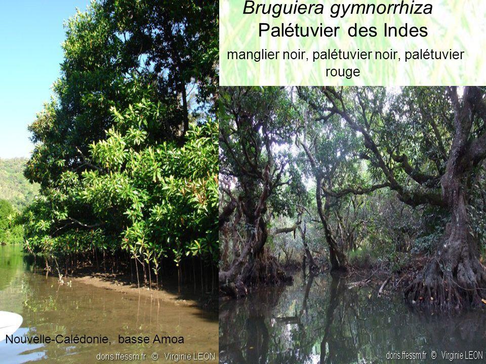 Bruguiera gymnorrhiza Palétuvier des Indes manglier noir, palétuvier noir, palétuvier rouge Nouvelle-Calédonie, basse Amoa
