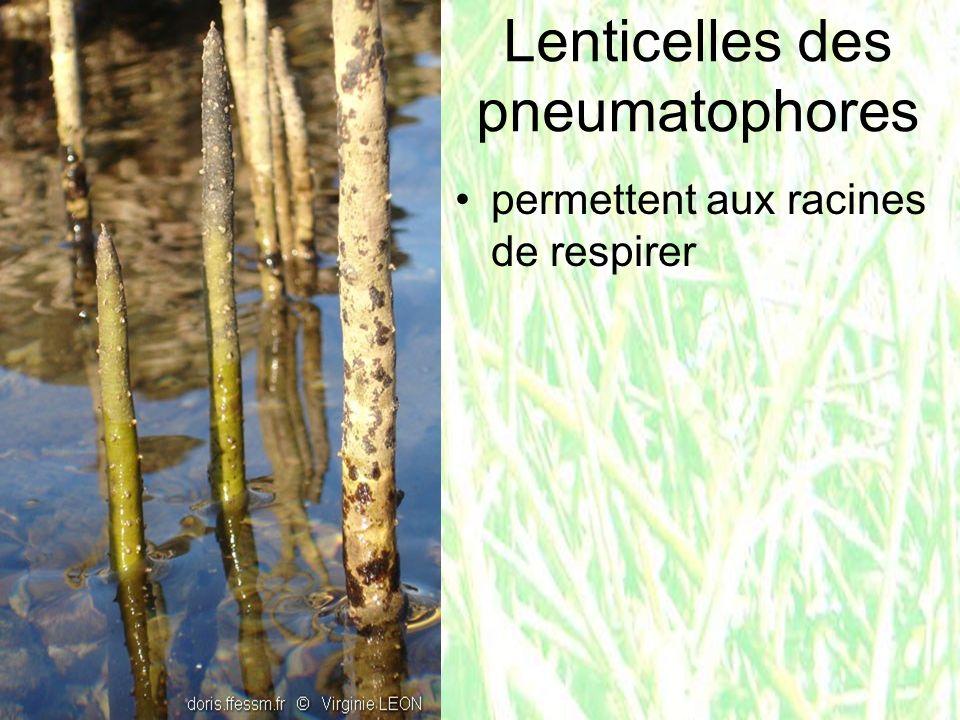 Lenticelles des pneumatophores permettent aux racines de respirer