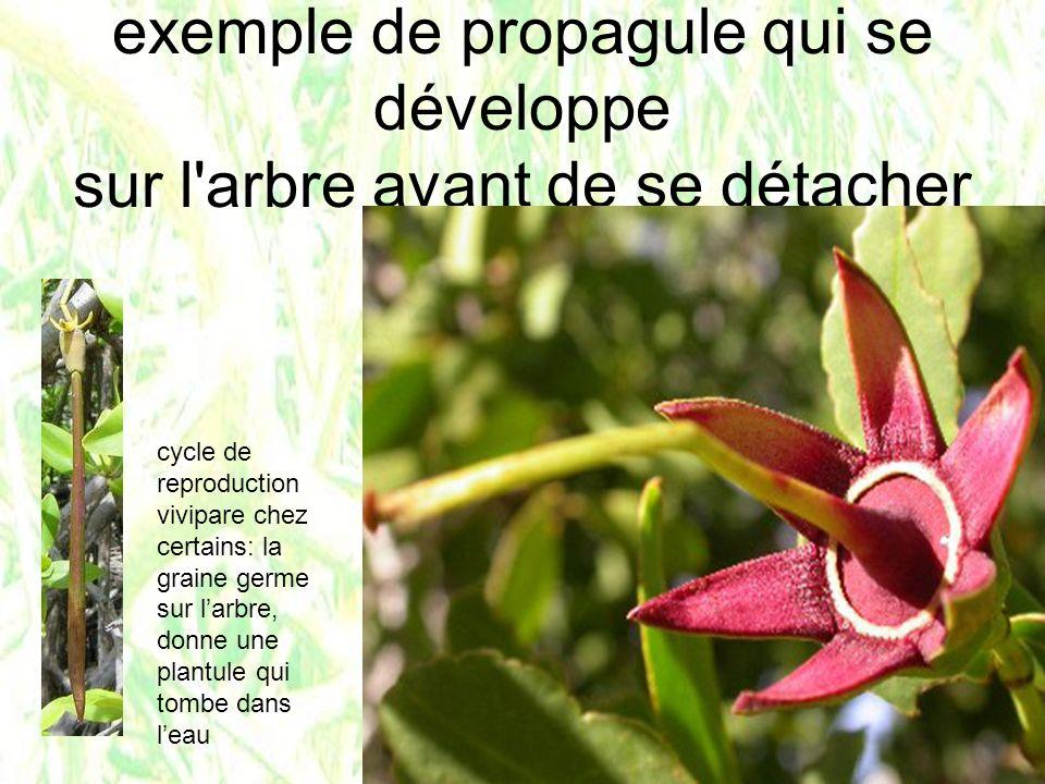 exemple de propagule qui se développe sur l'arbre avant de se détacher cycle de reproduction vivipare chez certains: la graine germe sur larbre, donne